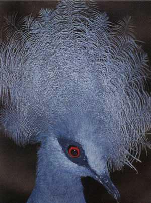 Bird Park Crown Pigeon